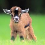 2015 — Год деревянной козы. Характеристика года. Что нас ждет в 2015?